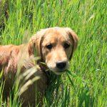 Golden retriever standing in tall green grass