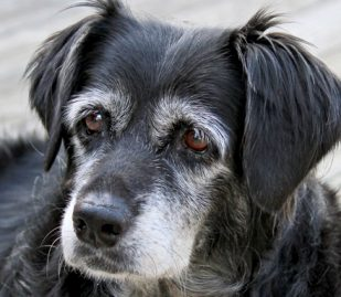 Top Concerns For Aging Dogs