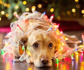 Don't Let Your Pet Fall Victim to Holiday Dangers